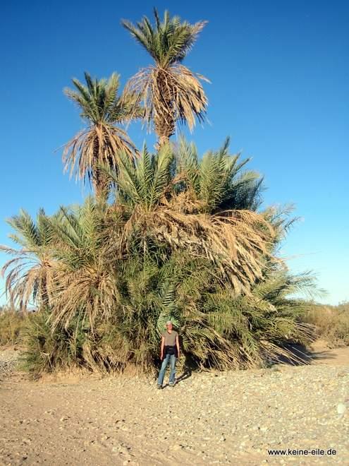 Roadtripp Marokko: Palme in der Wüste