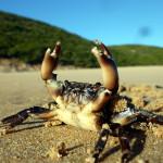 Ein Krebs genießt die Sonne am Praia Barranco