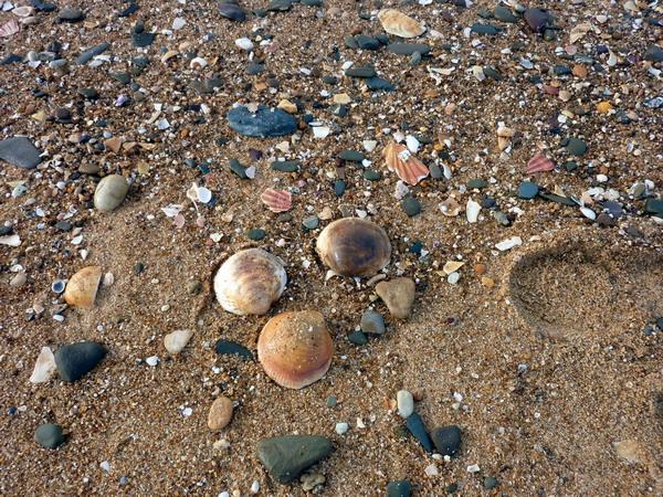 große Muscheln am Strand bei Quarteira