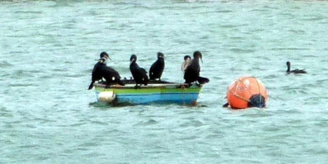 die Kormoran-Gang auf dem Boot im Fischerhafen von Ferragudo, Algarve, Portugal