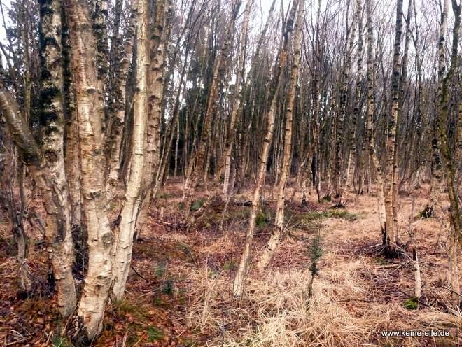 Moorbirken im Teufelsmoor
