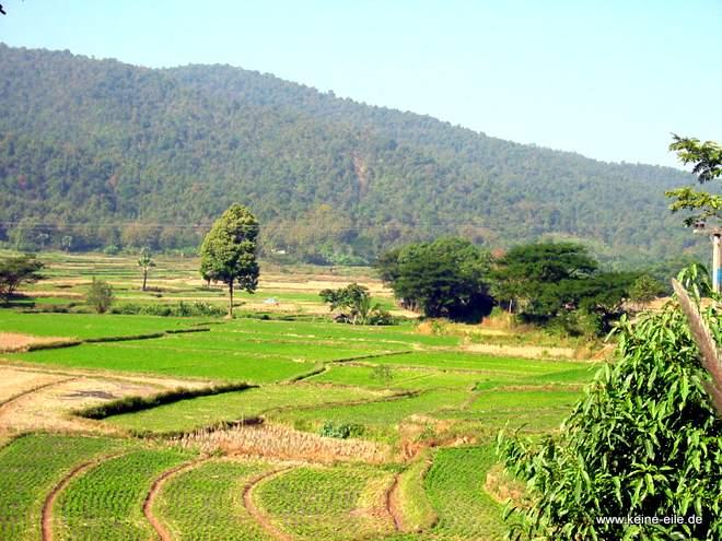 Reisfelder in Thailand