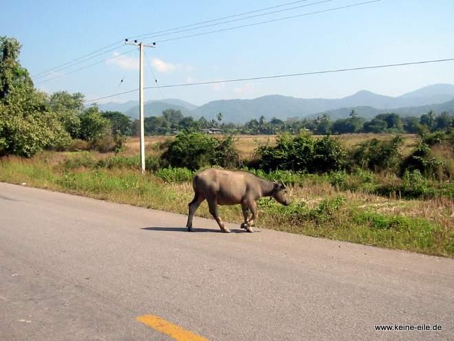 Radrundreise Thailand: Ein Wasserbüffel kreuzt