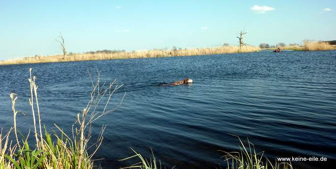 Lucy schwimmt in der Havel