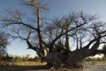 Motorradtour Afrika: Baobab Galeere