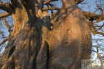 Motorradtour Afrika: Baobab Botswana