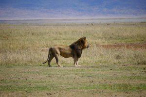 Overland Tour Ostafrika: Löwe im Ngorongoro Krater
