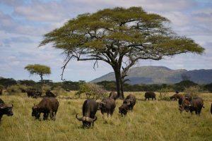 Overland Tour Ostafrika: Büffel in der Serengeti