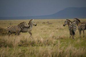 Overland Tour Ostafrika: Zebras in der Serengeti