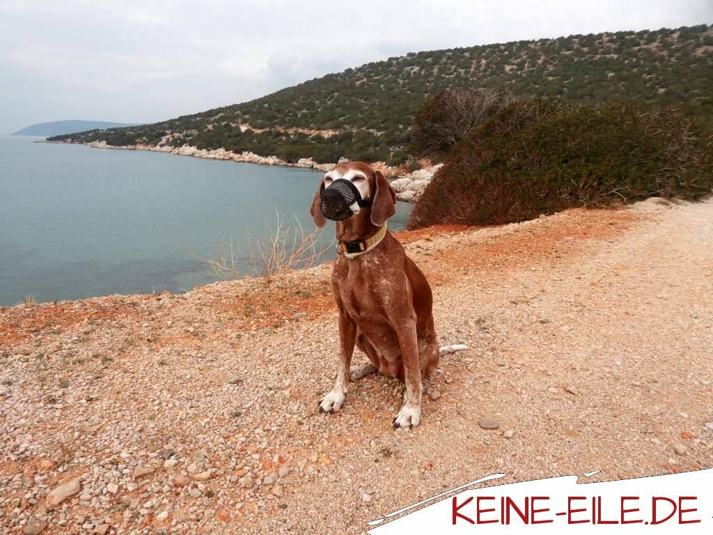 """Hier siehst du Staubsauger Lucy mit ihrem Premium Filter. Da sie die doofe Angewohnheit hat so ziemlich alles vom Boden aufzusaugen was so rumliegt, haben wir ihr dieses Netz aufgedrängt. Sie gewöhnt sich langsam daran, dass nur noch Luft, Wasser und Leckerlies durch den Filter gehen. Ziegenkacke, Menschenkot, Knochen und was sonst noch so rumliegt wird vom """"Filter"""" abgehalten ins Hundemaul zu kommen. Wir wurden so oft gewarnt vor den in Griechenland überall lauernden Giftködern, dass wir zu dieser Maßnahme gegriffen haben. Ich kann mir aber auch vorstellen, dass sie das Netz in so manch deutscher Großstadt auch mal tragen wird."""